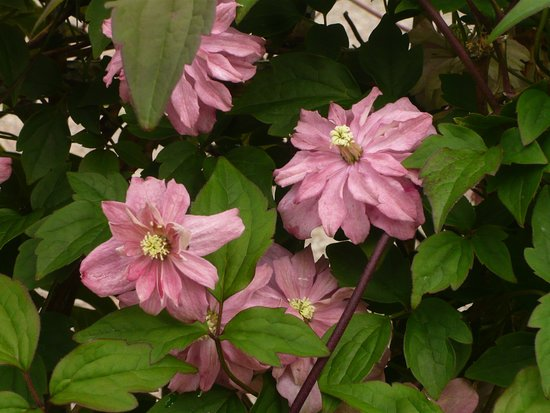 Ardgour, UK: Clematis on the gate.
