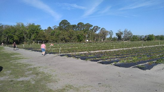 Oviedo, FL: Pappy's Patch U-Pick Strawberries