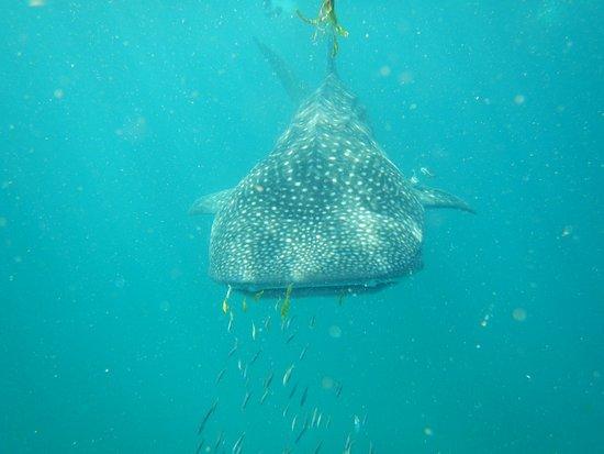 Afro Whale Shark Safari: Whale shark
