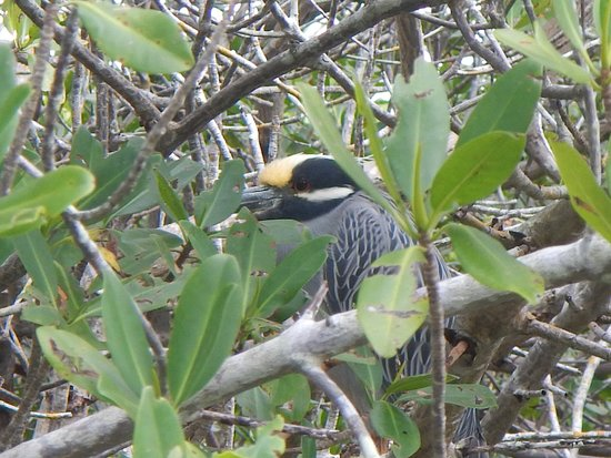 Gulf Coast Kayak: A Night Heron at rest.