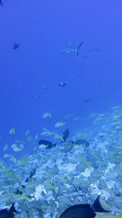 Dive Spirit Fakarava : requin gris