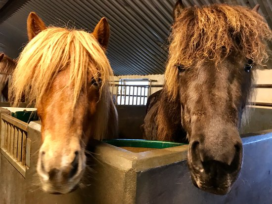 Riding Tours South Iceland: The adorable Horses