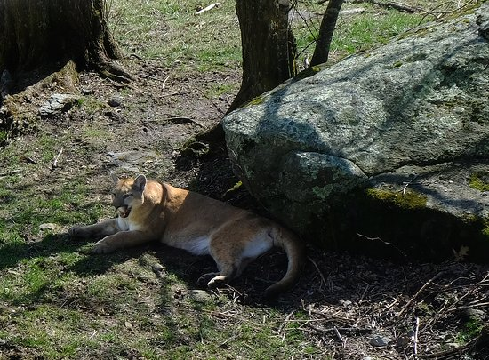 Grandfather Mountain: They have Mountain Lions to visit