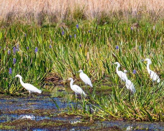 Kissimmee, FL: snowy egrets