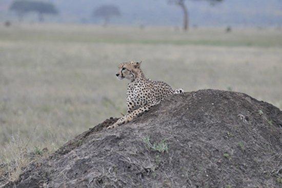 Black Elephant Safari Kenya: Ghepardo al mattino