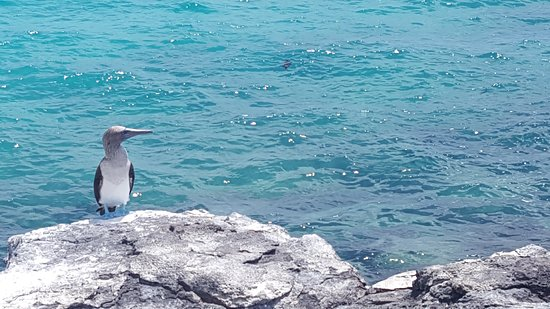 Puerto Chino Beach: Piquero de patas azules