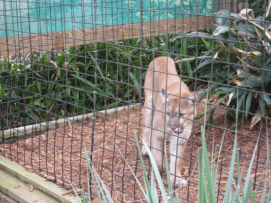 Cougar Picture Of Central Florida Zoo Botanical Gardens Sanford Tripadvisor