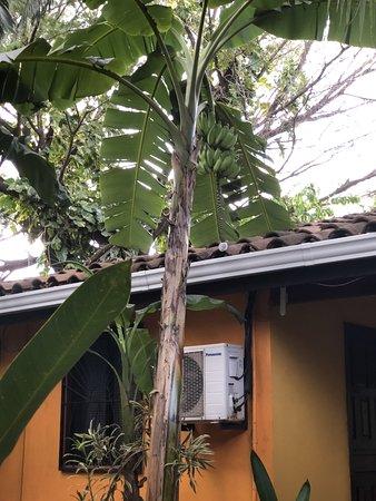 Hotel Pasatiempo: Bannanas