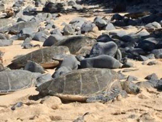 Paia, HI: Resting Honu on the beach.