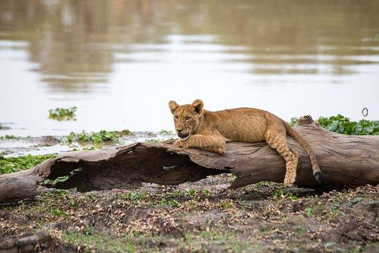 Lower Zambezi National Park, Zambia: Löwe auf dem Baum Lower Zambezi Nationalpark