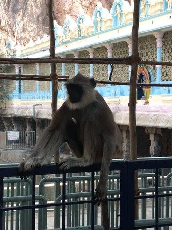 monkey mangalore