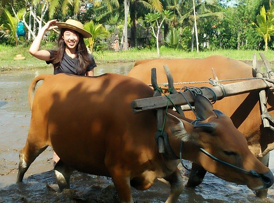 Abiansemal, Indonesië: Fun Farming in Bali - Water Buffalo Riding