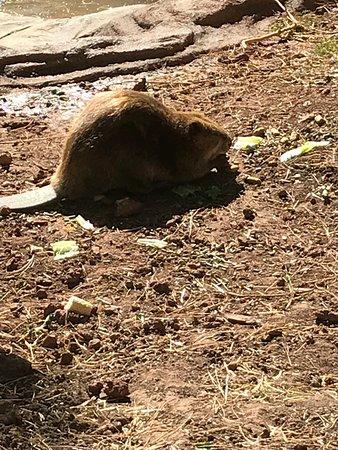 Williams, AZ: beaver