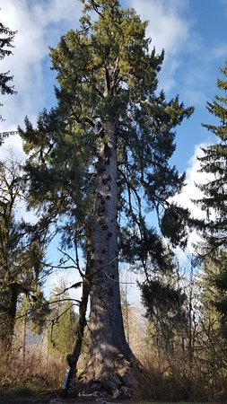 Quinault, Etat de Washington : The world's largest Spruce Tree