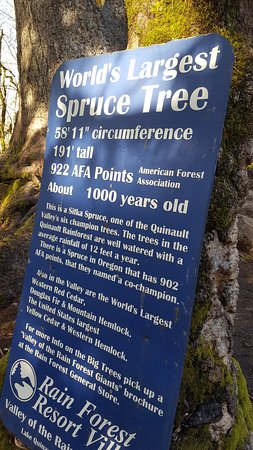Quinault, Etat de Washington : Description of the Spruce.