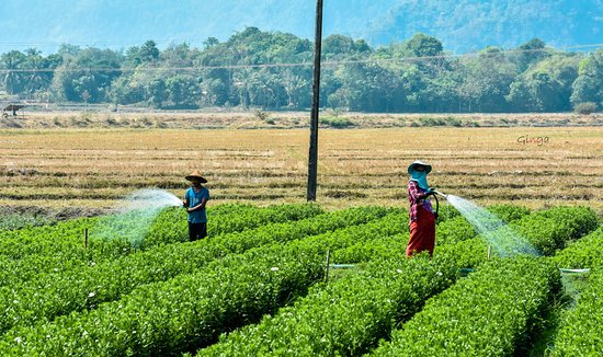 Mon State, Myanmar: Gardeners with beautiful young Chrysanthemum!