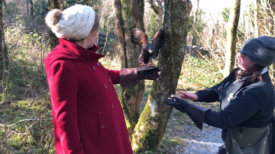 Ballyvaughan, Ireland: On the Hawk Walk, the Harris Hawk flew through two trees to land on my wife's arm.