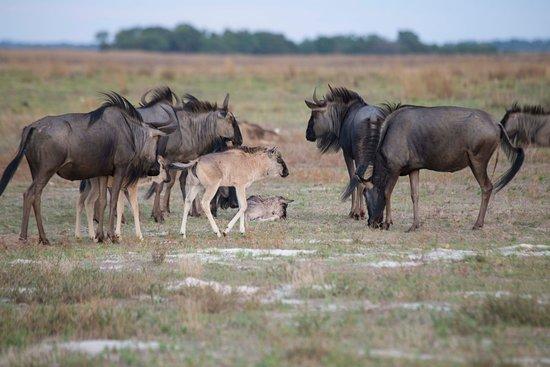 Liuwa Plains National Park: Gnu Migration Liuwa Plain