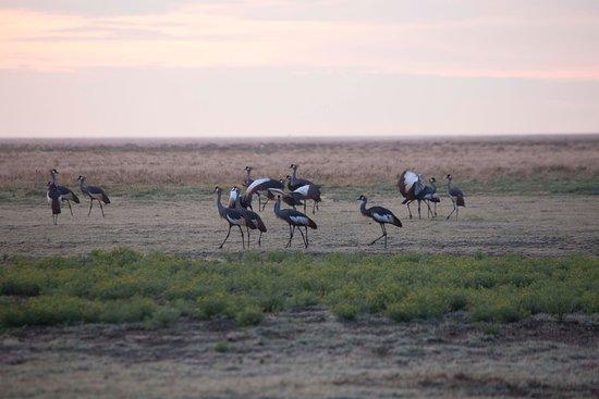 Liuwa Plains National Park: Kronen Kranich Liuwa Plain