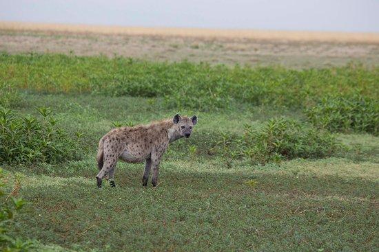 Liuwa Plains National Park: Hyäne Liuwa Plain
