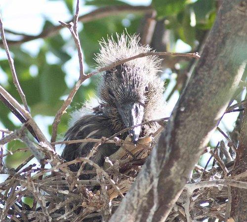 Seaside Seabird Sanctuary: Baby Black Crown night Heron