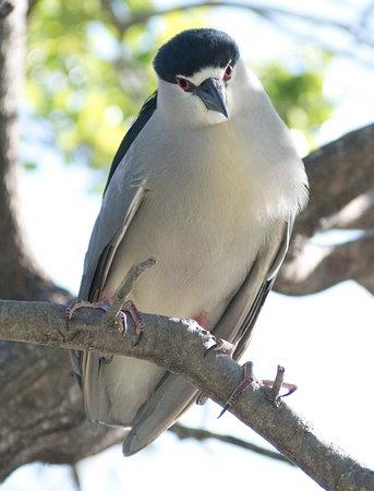 Seaside Seabird Sanctuary: Black Crown Night Heron