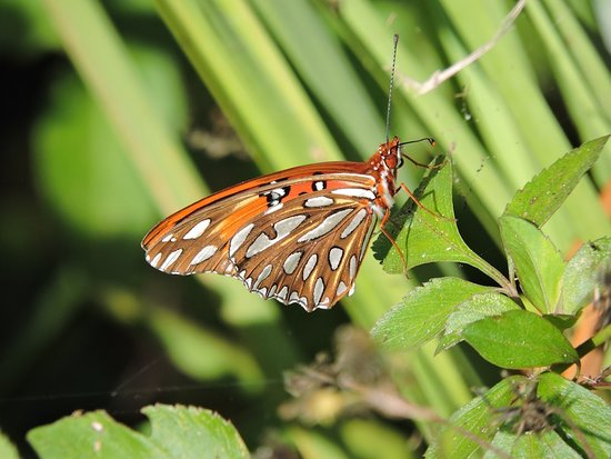 Just Get Outdoors: Gulf Fritillary. Naturalist Adventure Tour to Everglades National Park, 2018