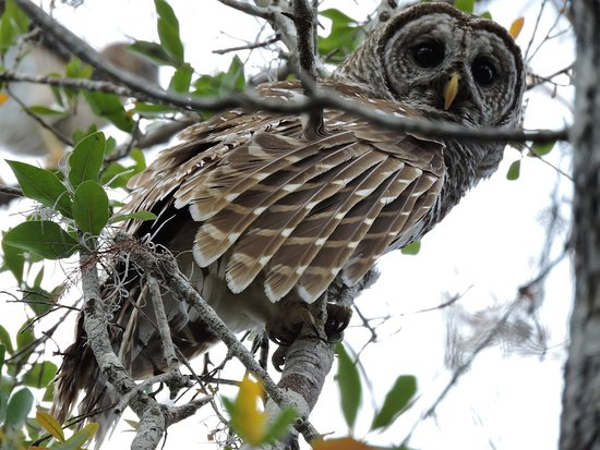 Just Get Outdoors: Barred Owl checking us out. Naturalist Adventure Tour to Everglades National Park, 2018
