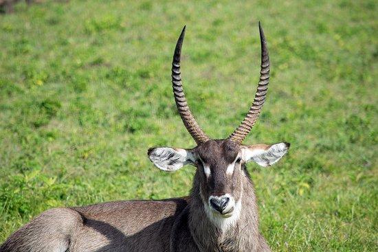 Arusha National Park: Waterbuck