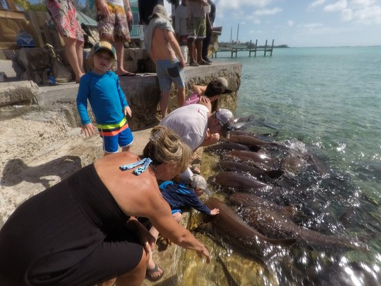 petting Nurse Sharks at Staniel Cay - Picture of Exuma Cays