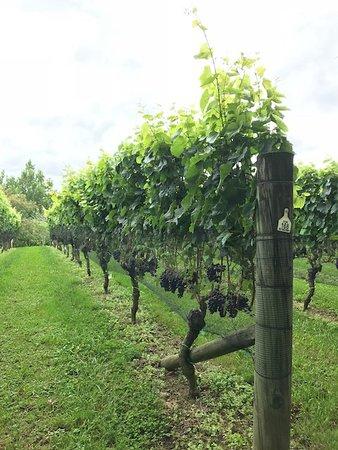 Waimauku, Nieuw-Zeeland: Melbac Grapes ready to be picked