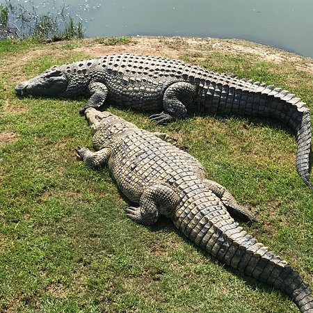 vist to crocodile park The uk's only crocodile zoo crocodiles of the world home visitor  information plan your visit book tickets admission  visiting visiting plan  your visit.