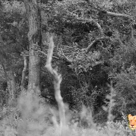 Частный заповедник Тимбавати, Южная Африка: more Tanda Tula Wildlife...