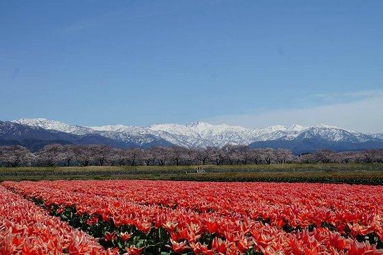 Asahi-machi, Japón: 雪山、桜、チューリップ、菜の花が揃って四重奏