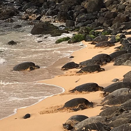 Paia, Hawái: Early mornings are quite some turtle action but in the evening it really draws a crowd highly re