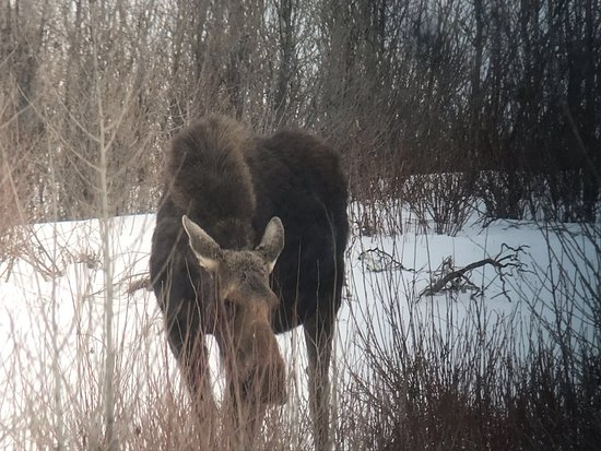 Wildlife Expeditions of Teton Science Schools : A beautiful female moose