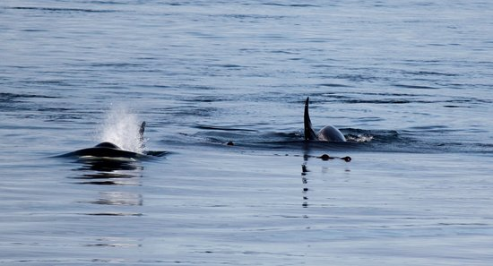 Mackay Whale Watching: Just a few of the orcas we saw