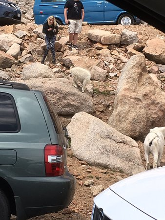 Mount Evans : Mountain goats at the top