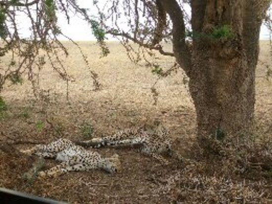 Ijue Africa Safaris: Tree is life ,look at these  brothes cheeters just resting under the shade