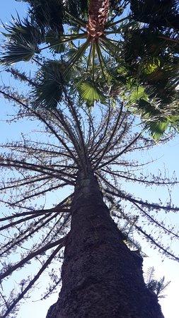Claremont, Sudáfrica: Norfolk Island Pine