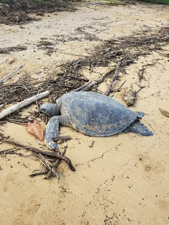 Kilauea, Hawái: Sea turtle sunning