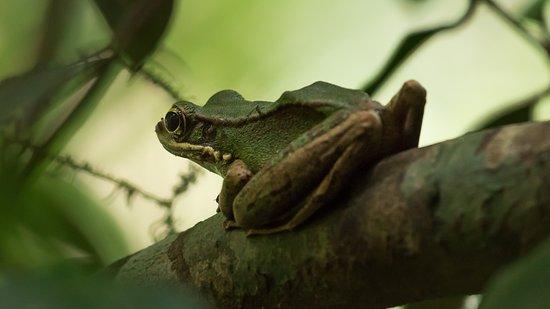 Labis, Malaysia: Frog