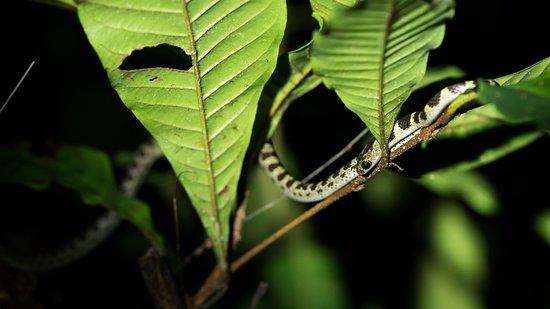 Endau-Rompin National Park: Baby Snake