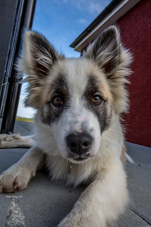 Hrifunes Guesthouse: You will be welcomed by the dog that is just beautiful. He is a iceland Hound.