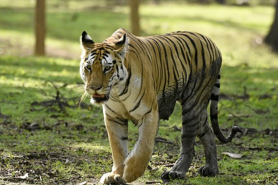 Pench Tiger Reserve: Collarwali Tigeress at Pench