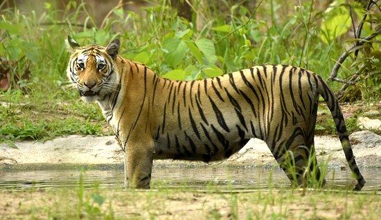 Pench Tiger Reserve: Bindi Tigeress at Pench Maharashtra