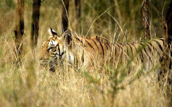 Pench Tiger Reserve: Tiger