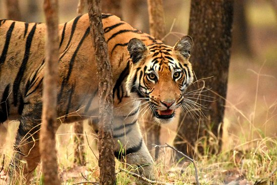 Pench Tiger Reserve: Sub Adult Male Tiger
