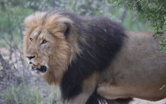 Indlovu River Lodge: Lion seen on game drive.