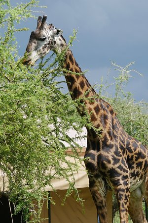 Serengeti Wild Camp: A friendly visitor to our tent